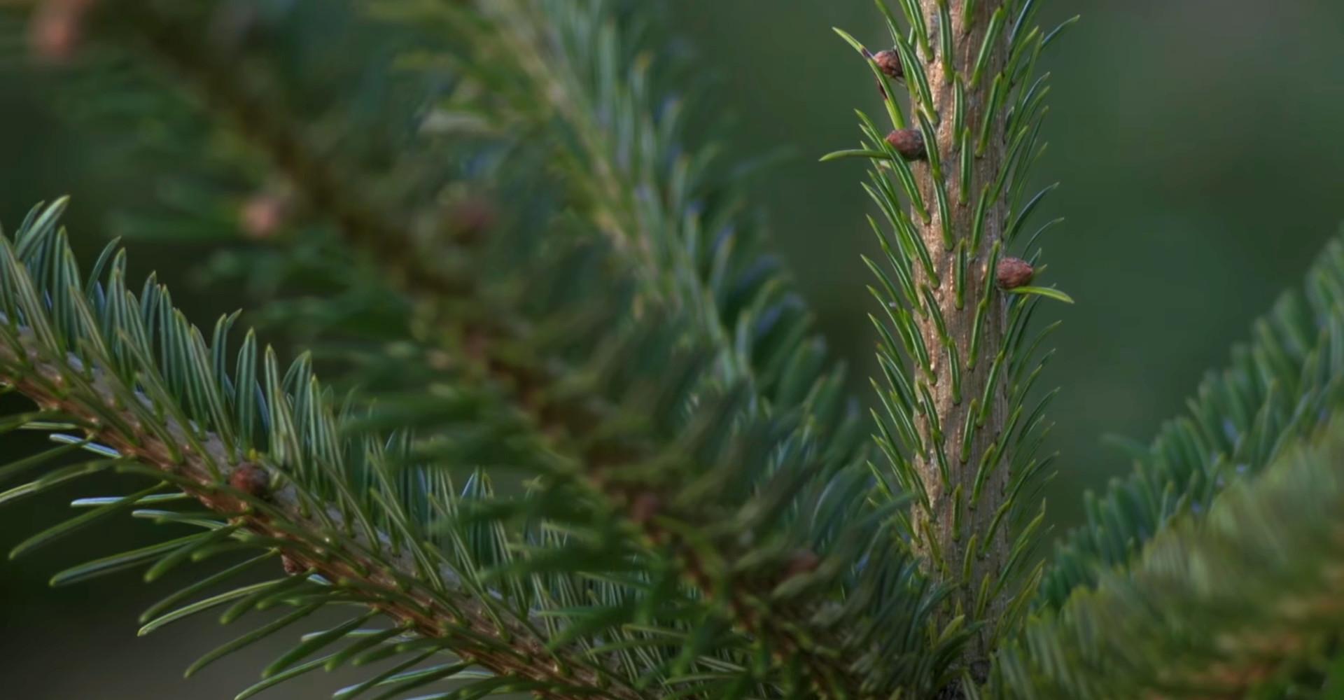De mooiste Nordmann Excellent kerstbomen in Nieuw-Vennep vanaf € 15,-
