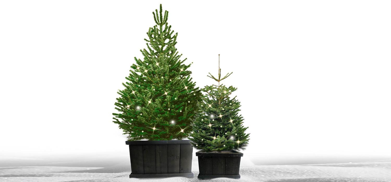 Nordmann kerstboom in kist met verlichting voor buiten bestellen in Nieuw-Vennep